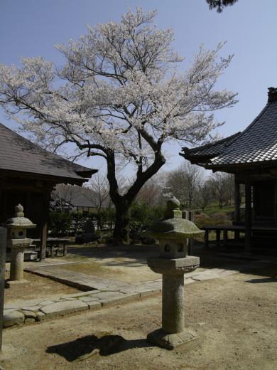 文永寺の桜