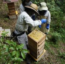 日本ミツバチ