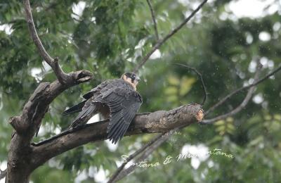 チゴハヤブサ幼鳥。。