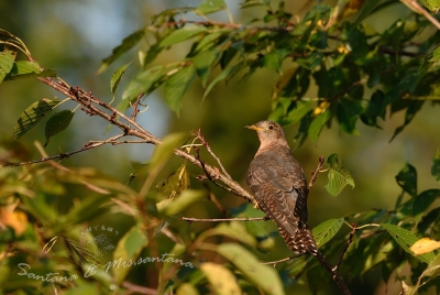 ツツドリ(赤色型)