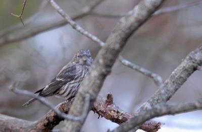 イスカの幼鳥
