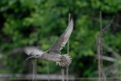 チュウシャクシギの飛翔。。。