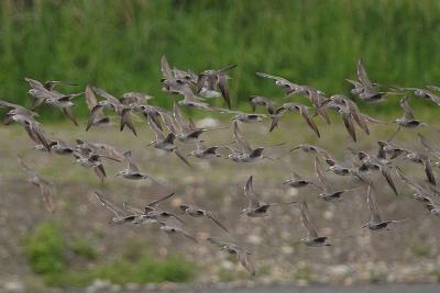 キアシシギの大群の飛翔。。。