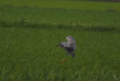 ゴイサギの飛翔。。。