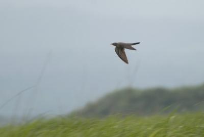 カッコウの飛翔。。。
