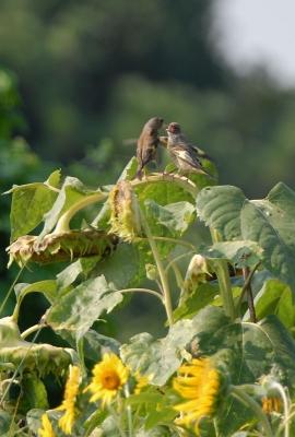 カワラヒワの給餌と向日葵。。。