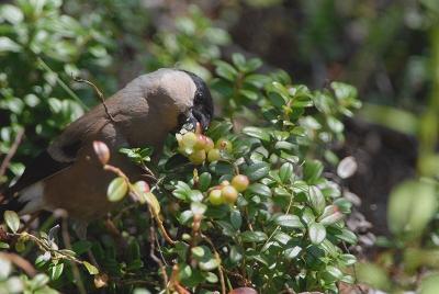 苔桃の実を食べるウソ。。。。