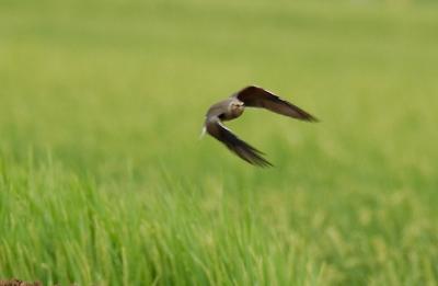 ツバメチドリの飛翔。。。