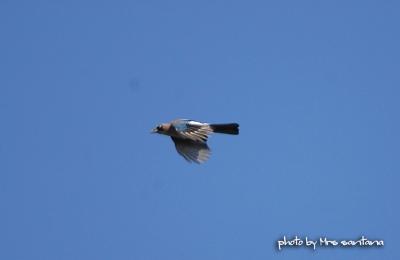 カケス。。空を飛ぶ・・