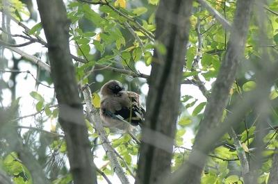 木々の間にカケスが見え隠れ。。。