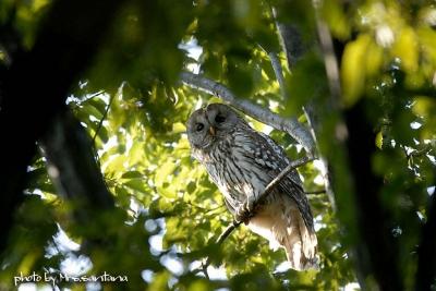 都心部の森に。。。フクロウが。。