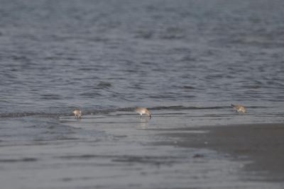 海辺にハマシギが。。。