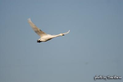 ハクチョウ。。青空を飛ぶ。。