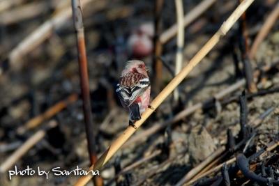 焼けた葦に下りて。。。