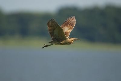 サンカノゴイの飛翔、、、