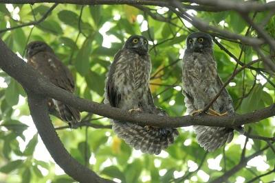 二羽で仲良く。。羽を広げる・・