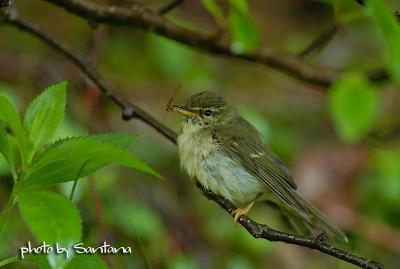メボソムシクイの幼鳥。。。