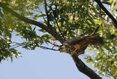 美しい猛禽。。チゴハヤブサ♪