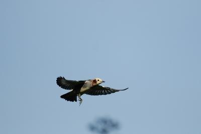 コムクドリの飛翔。。。