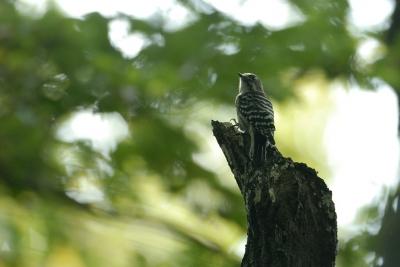 林の中でコゲラが。。。