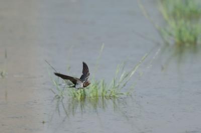 ツバメの飛翔。。。