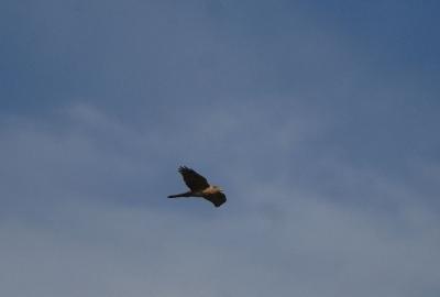 青空を飛ぶオオタカ若。。。