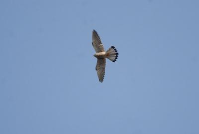青空を飛ぶチョウゲンボウ。。。
