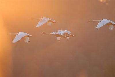 夕日の中のコハクチョウ。。