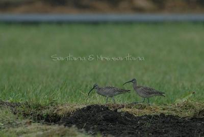 チュウシャクシギが田園で餌捕りを。。