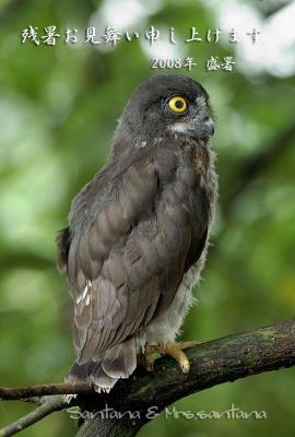 アオバズクの幼鳥