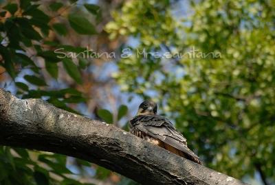 チゴハヤブサ幼鳥。。。