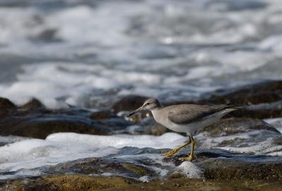 海岸でのキアシシギ。。