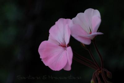 ゼラニュームの花。。