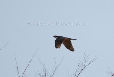 河原の猛禽。。オオタカ成鳥