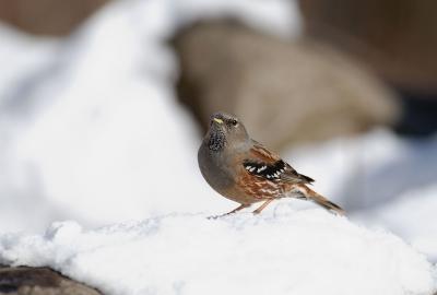 雪の中のイワヒバリ。。。