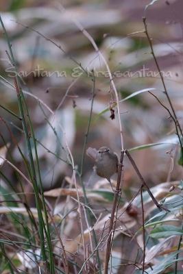 ウグイスが笹薮から。。