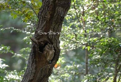 林の中にオオコノハズクが。。