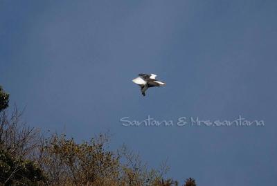 青空を飛ぶオオワシ。。。