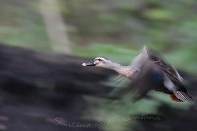 カルガモの飛翔。。