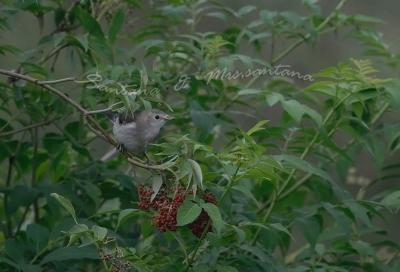 コムクドリ幼鳥。。。