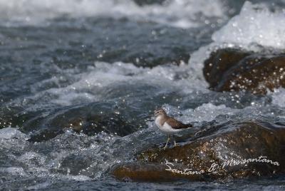 河原のイソシギ