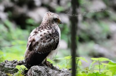 カンムリワシ幼鳥。。