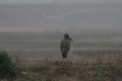ナベコウ幼鳥。。