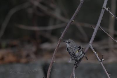 キヅタアメリカムシクイ