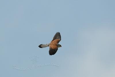 青空を飛ぶチョウゲンボウ。。