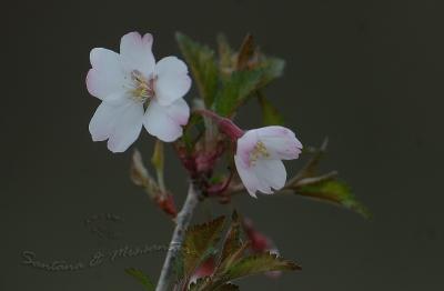 山桜。。。
