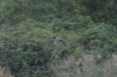 キジの飛翔。。。