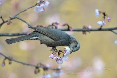 ヒヨドリと桜。。。