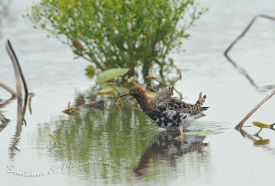 エリマキシギ夏羽に換羽中