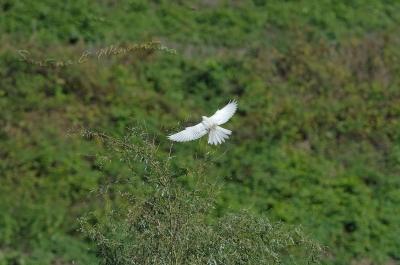 白いチョウゲンボウ。。。